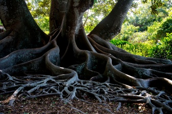 Cypress roots rs