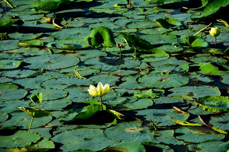 Lily pads Sweetwater Wetlands rs
