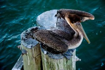 Pelican rs