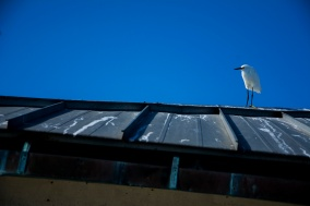 Sea bird on roof rs