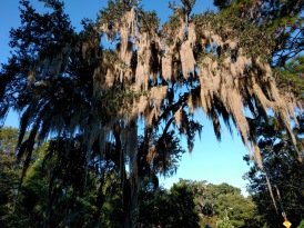 Spanish moss enlarged 2